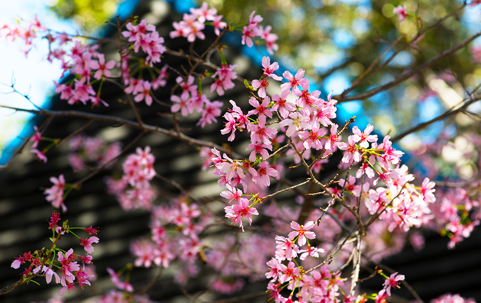 cherry blossom festival - 945×596